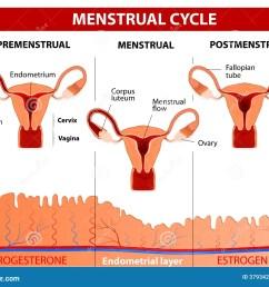 menstrual cycle stock illustrations 1 082 menstrual cycle stock menstrual pain diagram [ 1300 x 1061 Pixel ]