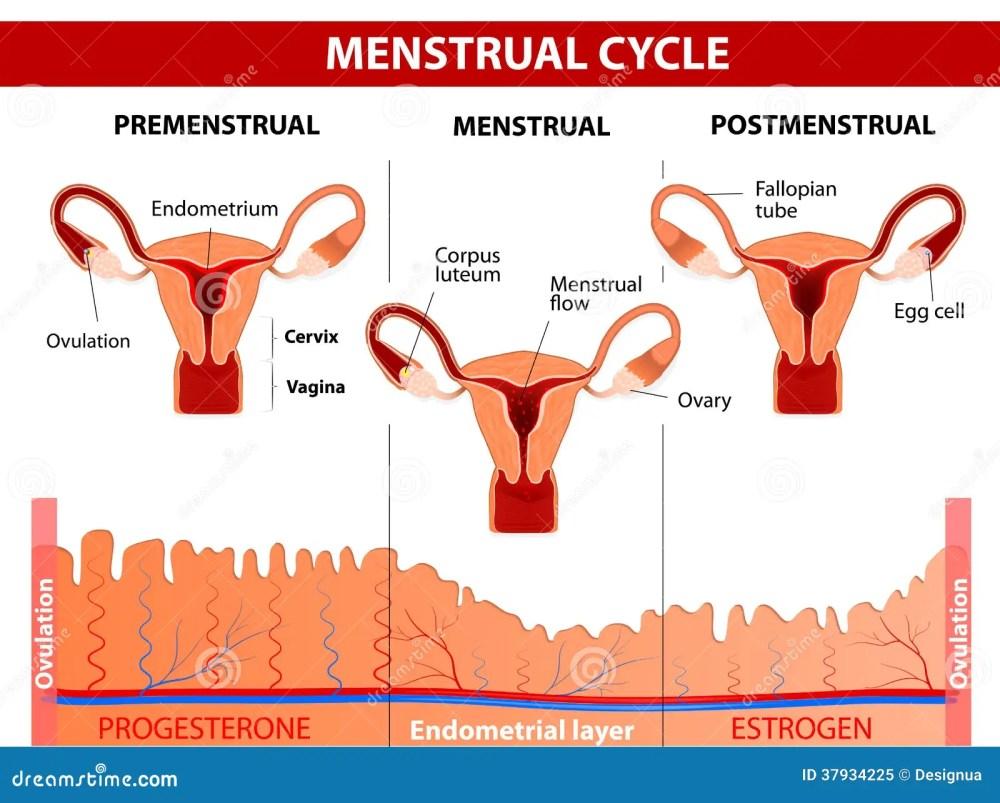 medium resolution of menstrual cycle stock illustrations 1 082 menstrual cycle stock menstrual pain diagram