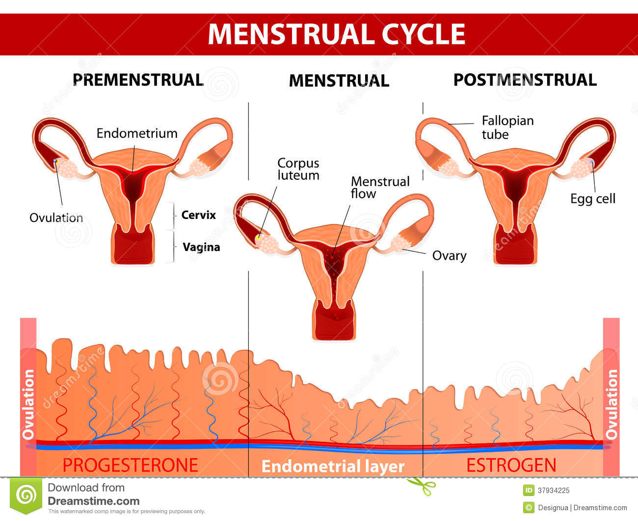 hight resolution of menstrual cycle stock illustrations 1 082 menstrual cycle stock menstrual pain diagram
