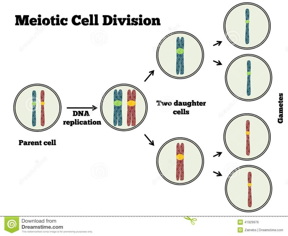 medium resolution of the different steps of meiosis explained in a clear manner