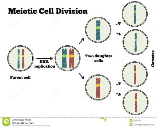 small resolution of the different steps of meiosis explained in a clear manner