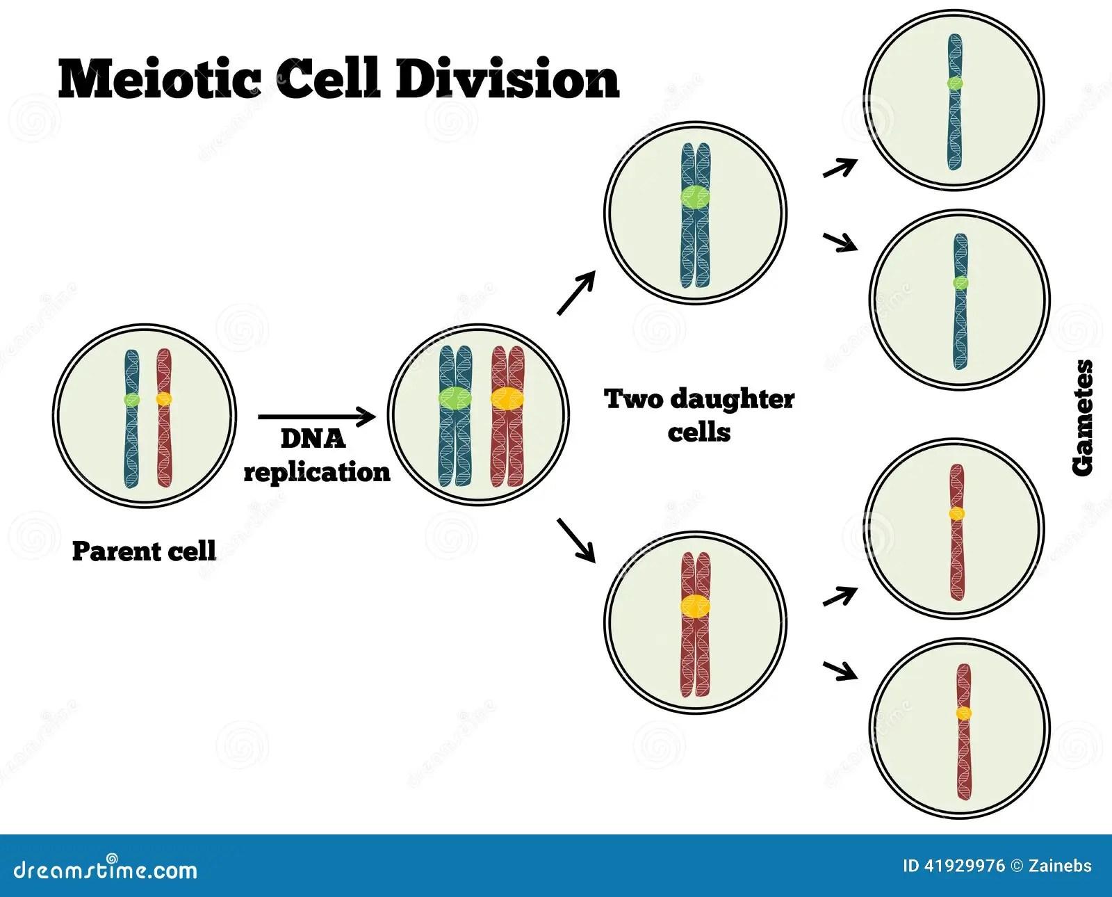 Meotic Zellteilung Vektor Abbildung Illustration Von