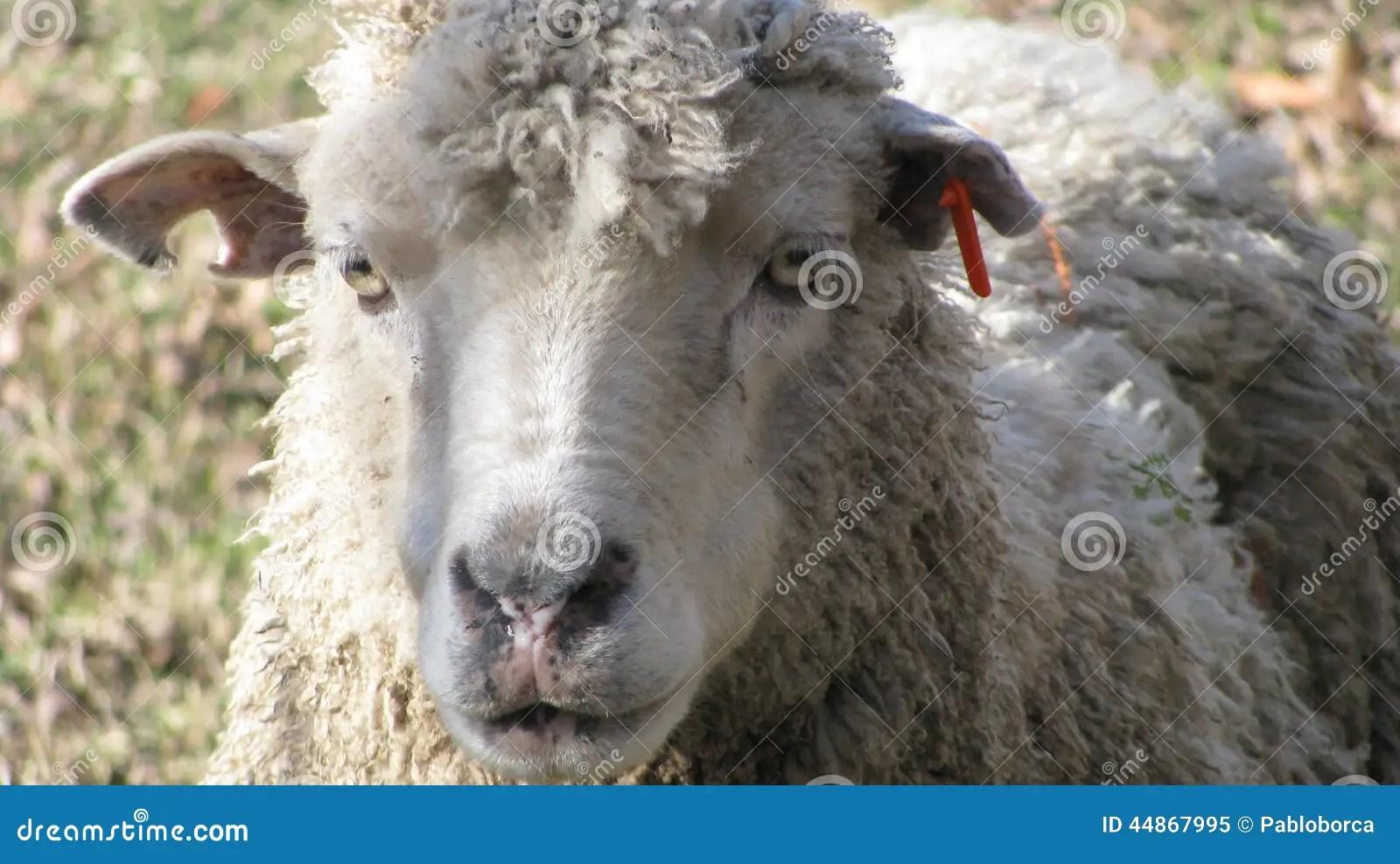 Merino Sheep Stock Photo