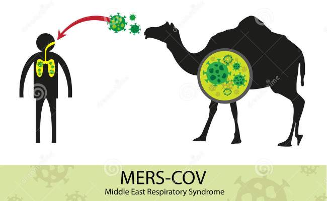 Mers Corona Virus Transfer From Camel To Human Stock