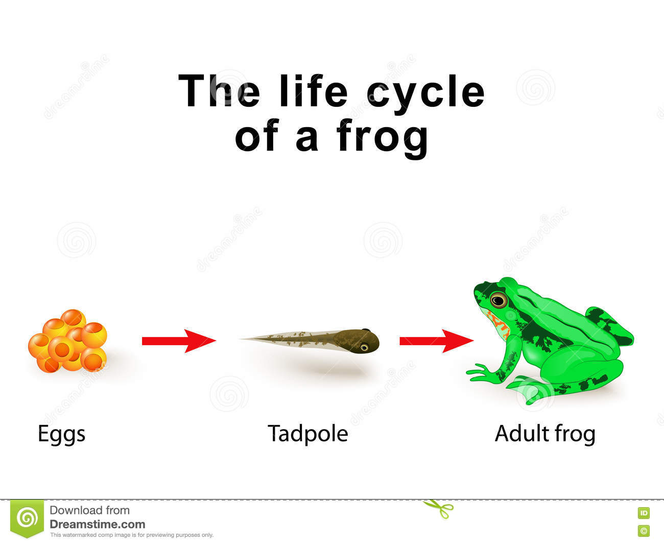 Metamorphosis Amphibians For Example The Life Cycle Of