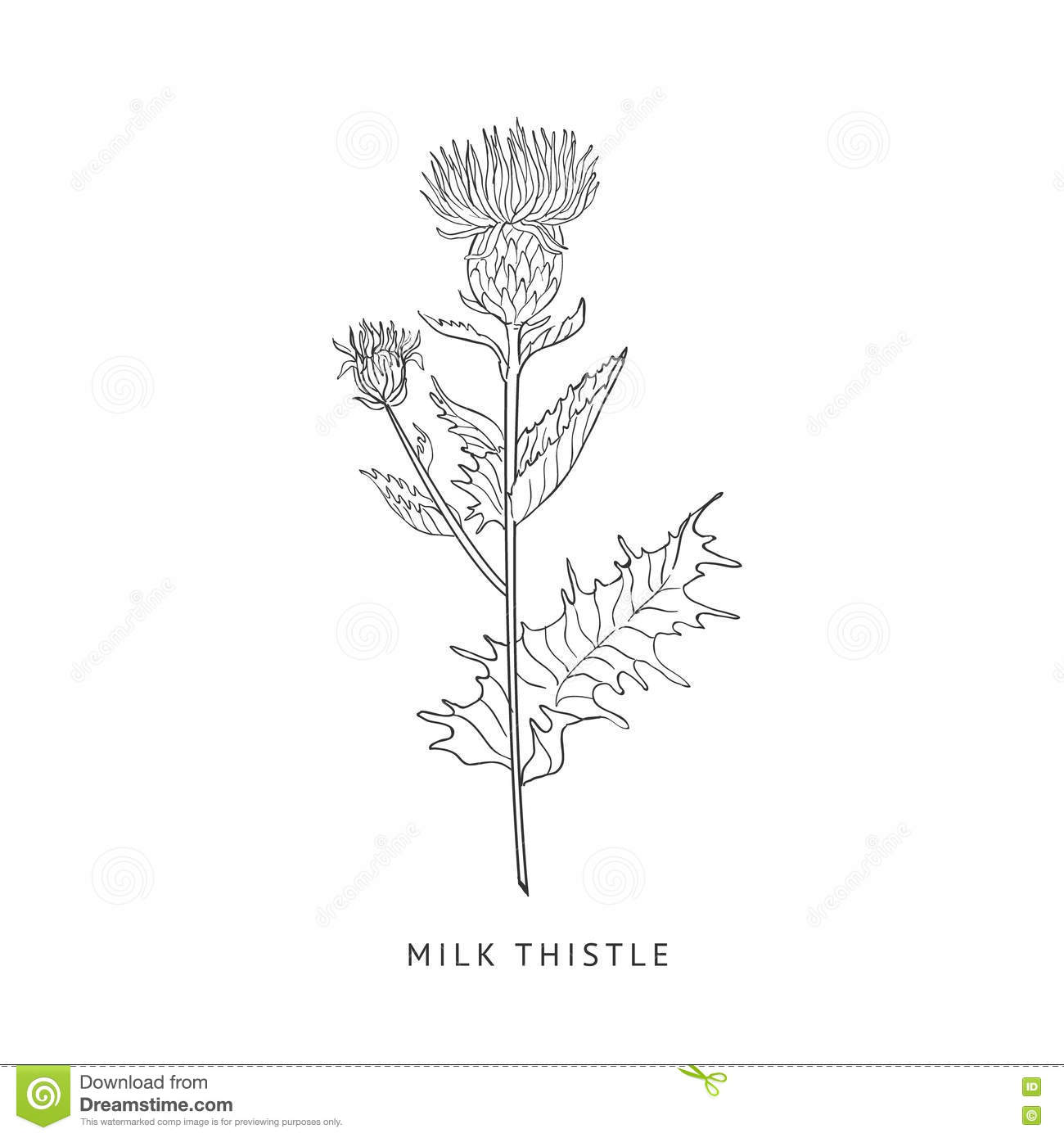 Milk Thistle Hand Drawn Realistic Sketch Stock Vector