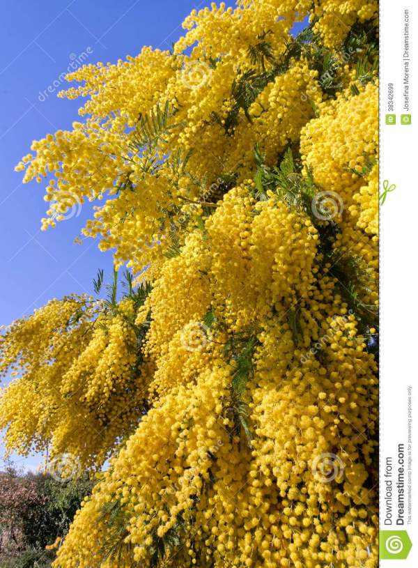 Acacia Dealbata Honey Year Of Clean Water
