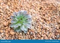 Miniature Succulent Plants In Desert Garden Stock Image ...