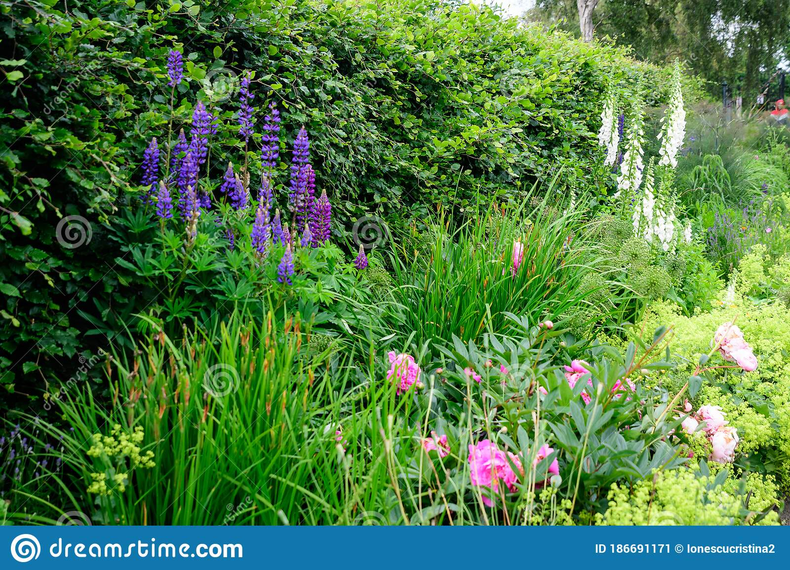 Minimalist Garden Landscape With Plants And Grass And Blue Flowers And Grey Alley In A Sunny Day In Scotland United Kingdom Typi Stock Image Image Of Meadow Path 186691171