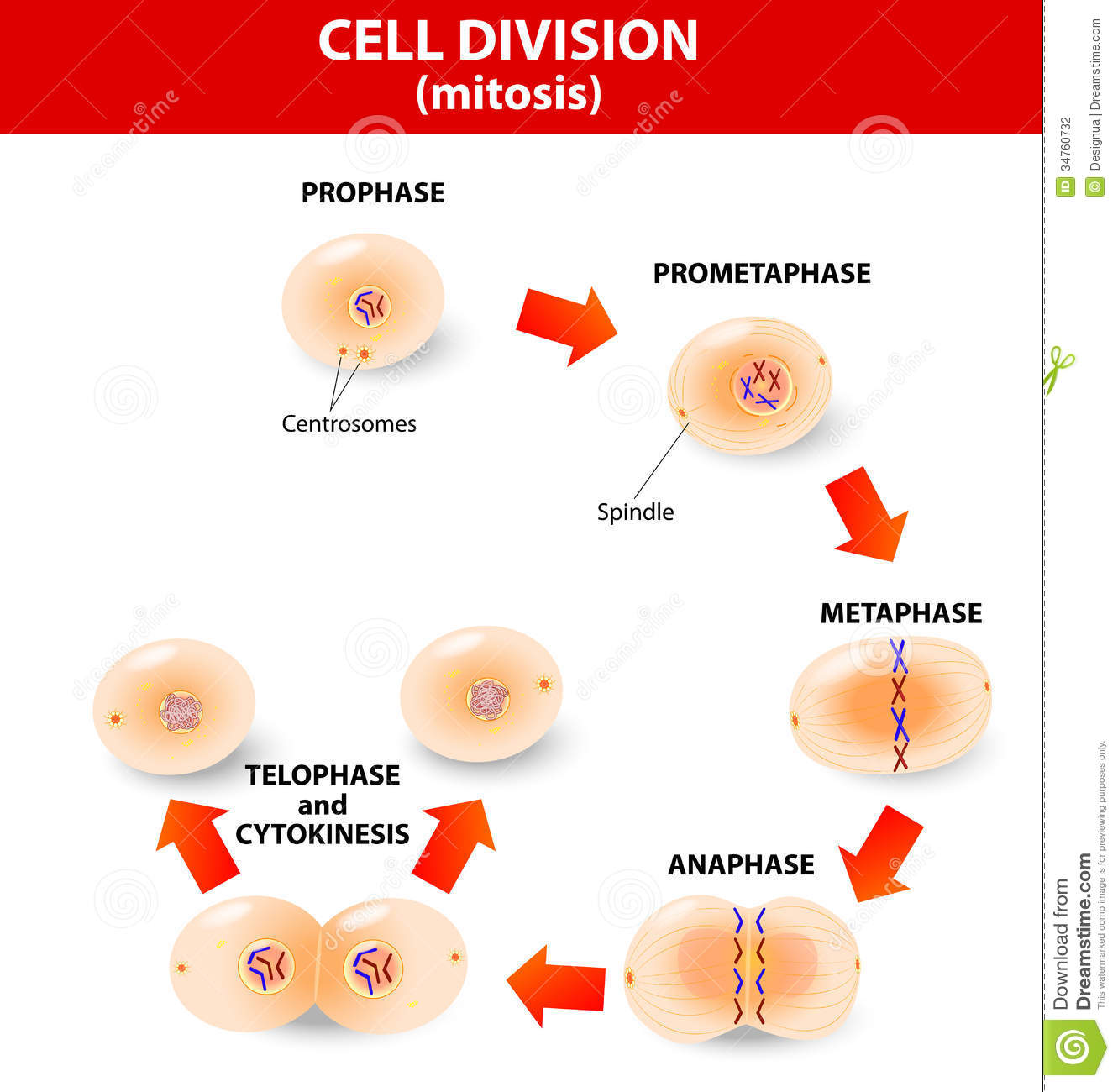 animal cell mitosis diagram dryer wiring schematic process division stock photography image