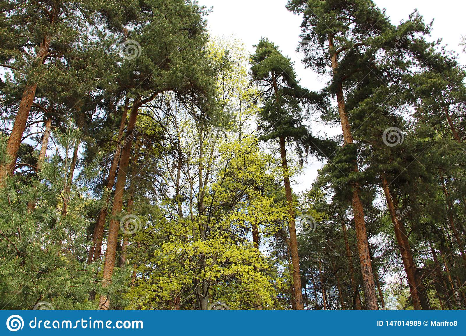You go outside and see a tree. Mixed Forest Coniferous And Deciduous Trees In The Same Forest Stock Image Image Of Leaves Larch 147014989