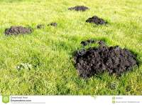 Mole Hills In The Garden Lawn Stock Photo - Image: 50553670