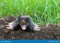 Mole And Molehill On Garden Stock Photography - Image ...