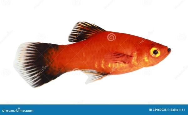 Orange And Black Molly Fish