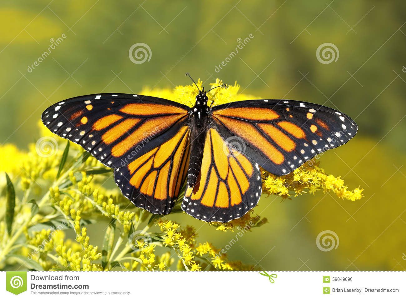Monarch Butterfly Nectaring On Canada Goldenrod Stock