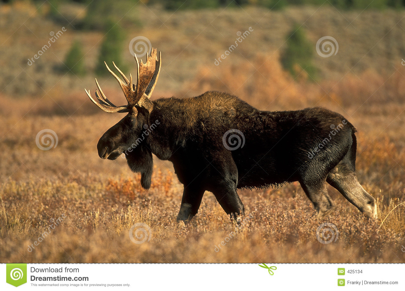 Maine Fall Wallpaper Moose Stock Photo Image Of Park National Plant Mammal