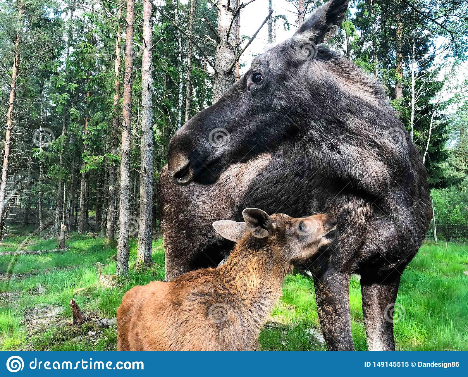 Moose Female With Its Calf In Swedish Forest Stock Image - Image of humped. female: 149145515