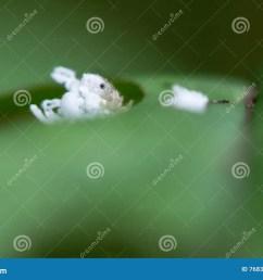 mosca de sierra del aliso y x28 ovata x29 de eriocampa larva en foodplant [ 1300 x 957 Pixel ]