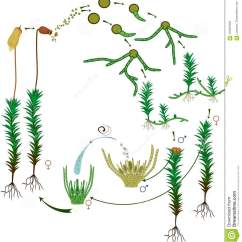 Life Cycle Of Moss Plant Diagram Trailer Wiring Harness 7 Way A Common