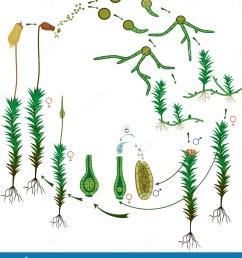 diagram of life cycle of common haircap moss polytrichum commune [ 1294 x 1300 Pixel ]