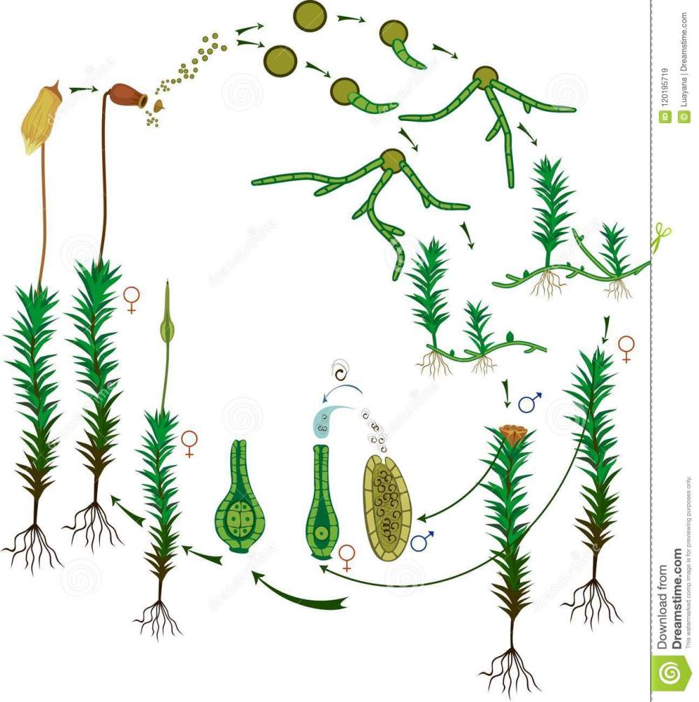 medium resolution of diagram of life cycle of common haircap moss polytrichum commune