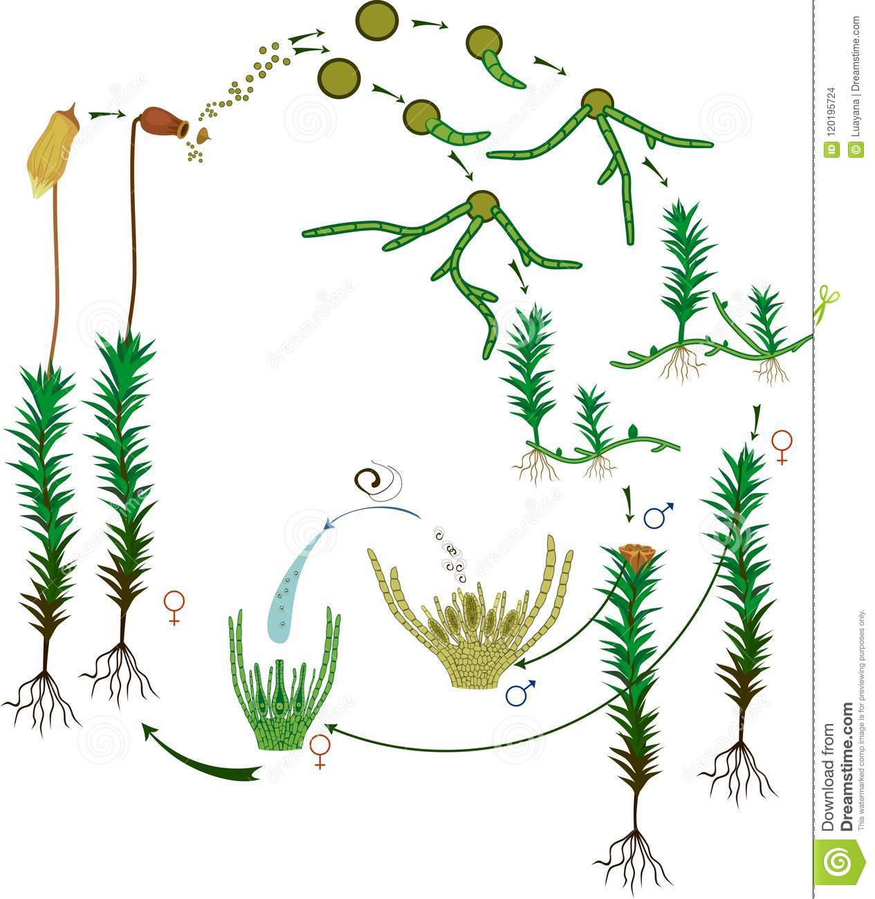 hight resolution of diagram of life cycle of common haircap moss polytrichum commune