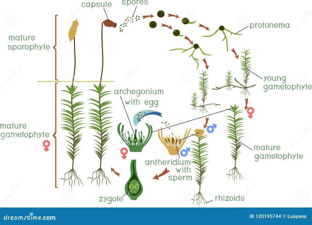 medium resolution of polytrichum stock illustrations 22 polytrichum stock illustrations vectors clipart dreamstime