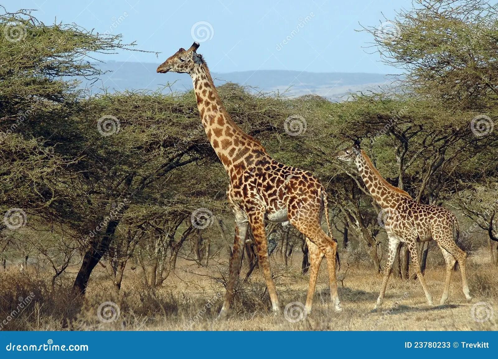 Mother And Baby Giraffe Amongst Acacia Trees Stock Image