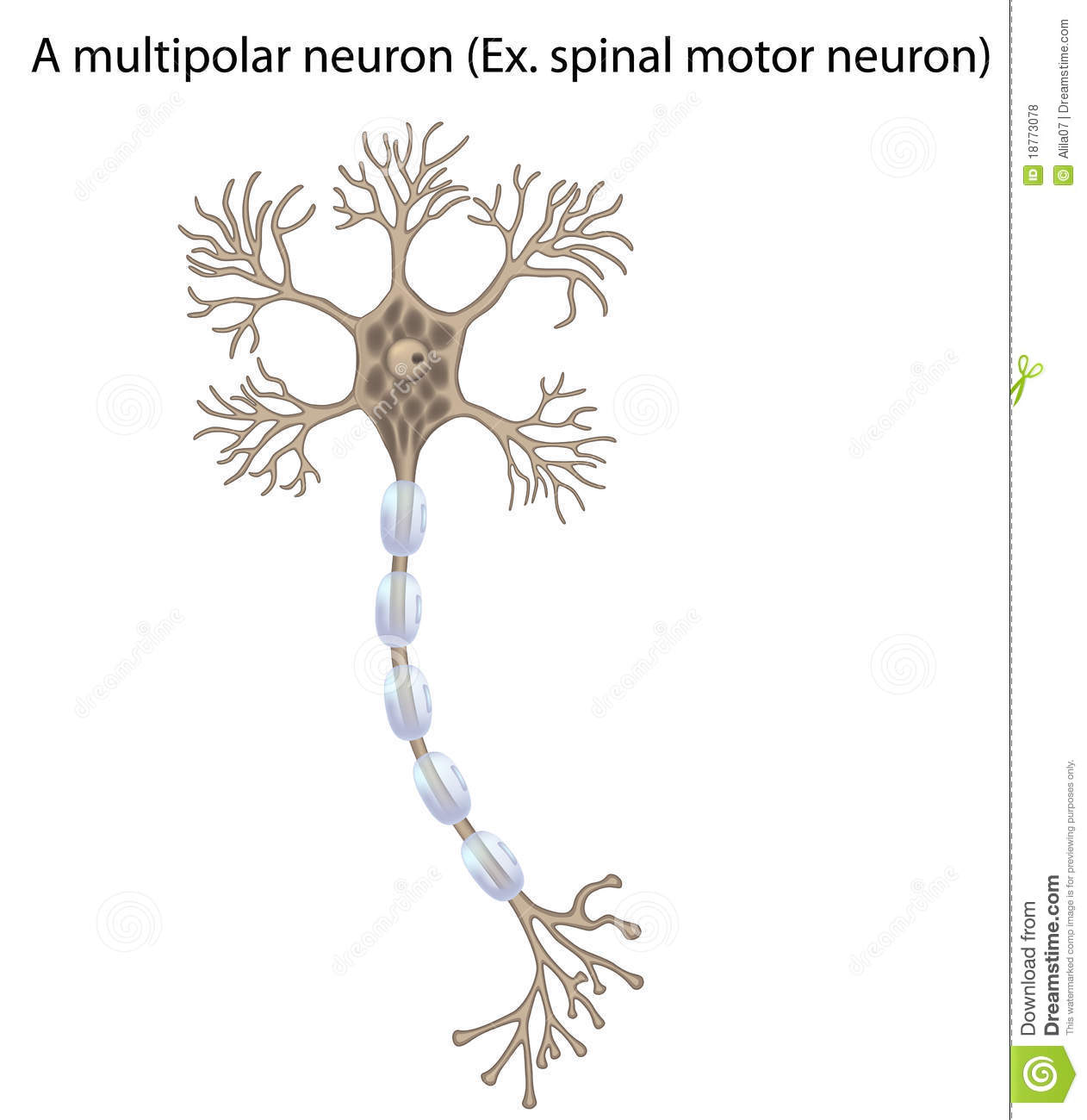 Motor Neuron Detail And Accurate Non Labeled Vs Royalty
