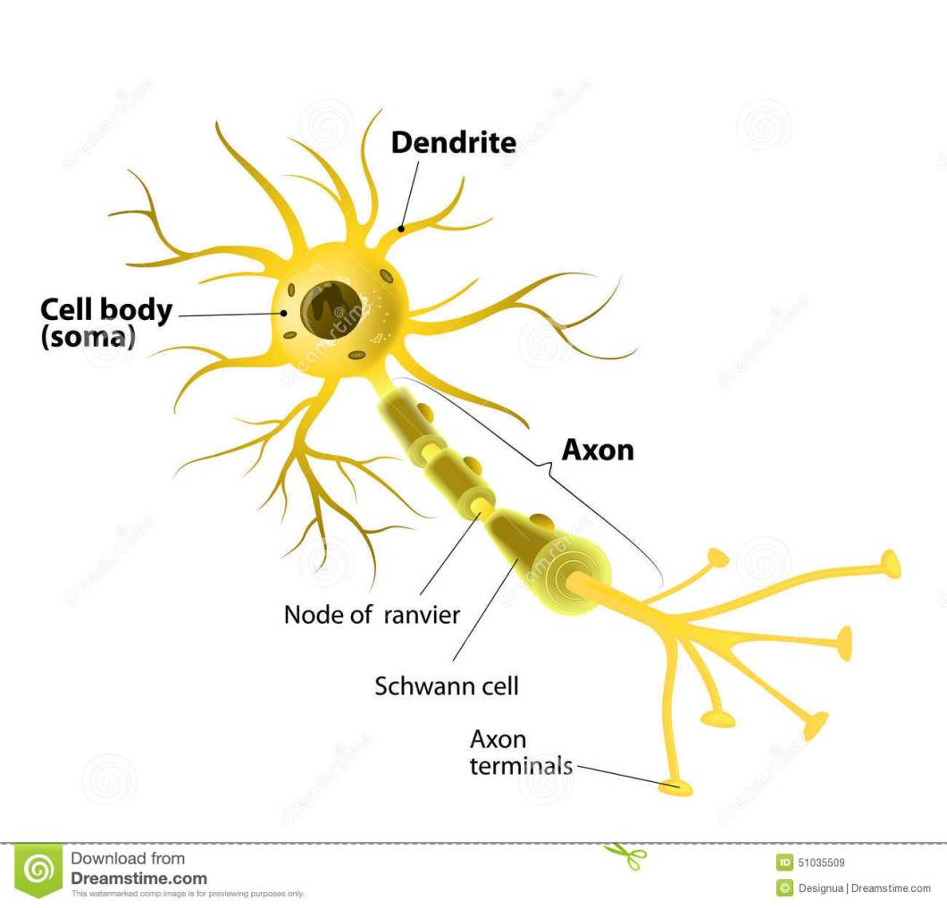 Diagram of motor neuron cell newmotorspot motor neuron detailed and accurate labeled stock vector ccuart Image collections