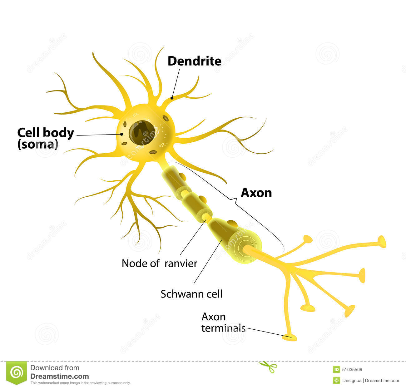hight resolution of motor neuron detailed and accurate labeled stock illustration