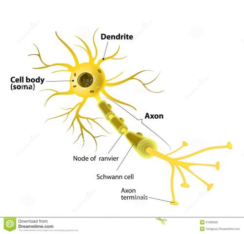 small resolution of motor neuron detailed and accurate labeled stock vector rh dreamstime com motor neuron diagram unlabeled neuron cell diagram blank