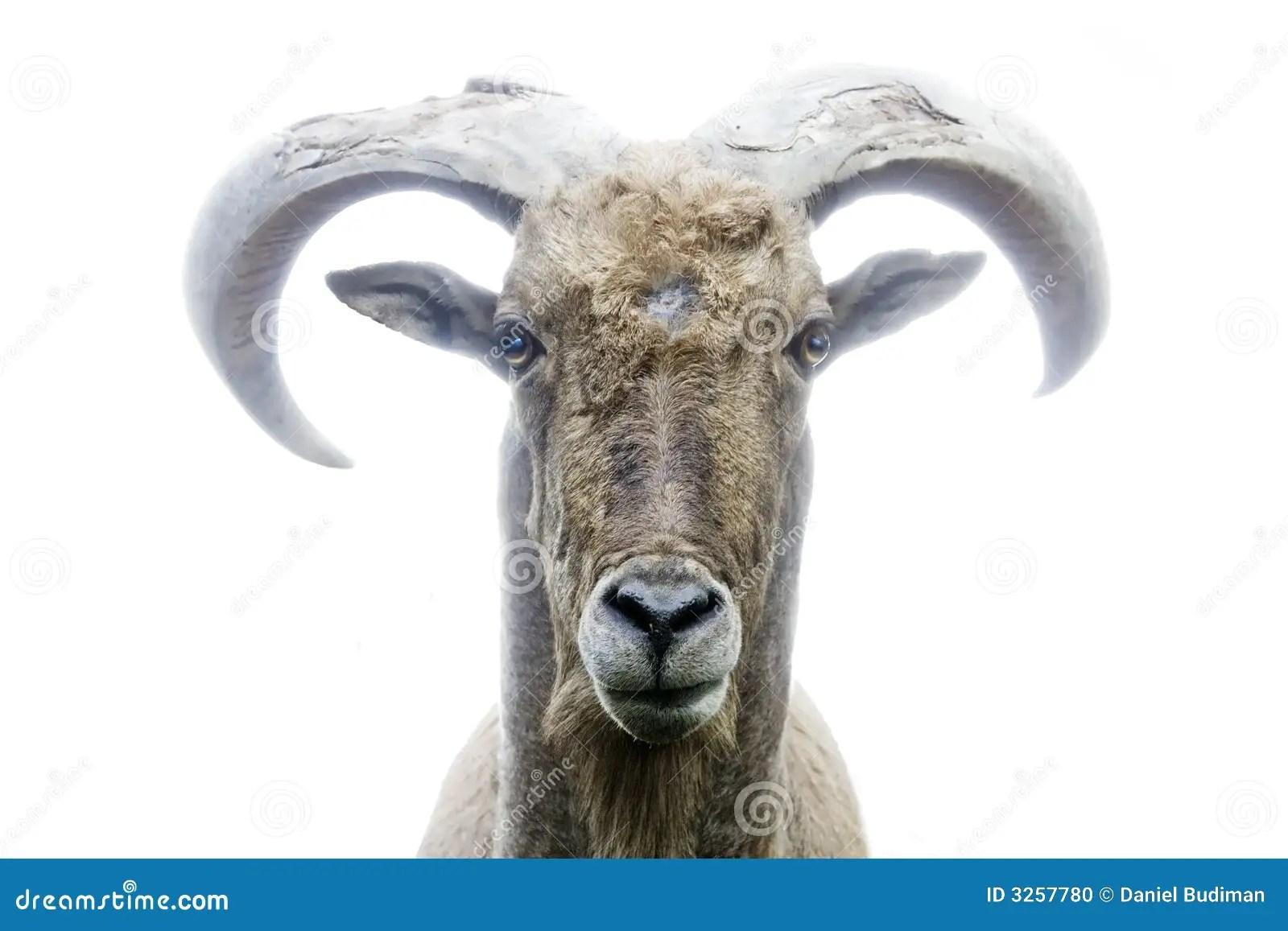 Mountain Goat Front View Stock Photo