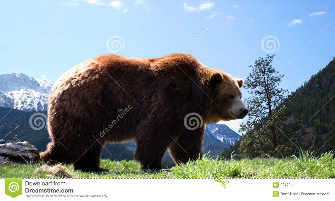 mountain grizzly bear stock