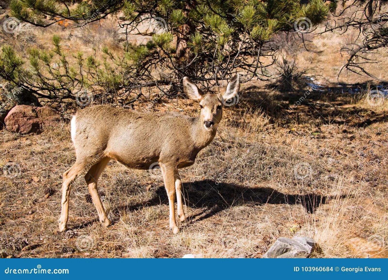 mule deer doe walking