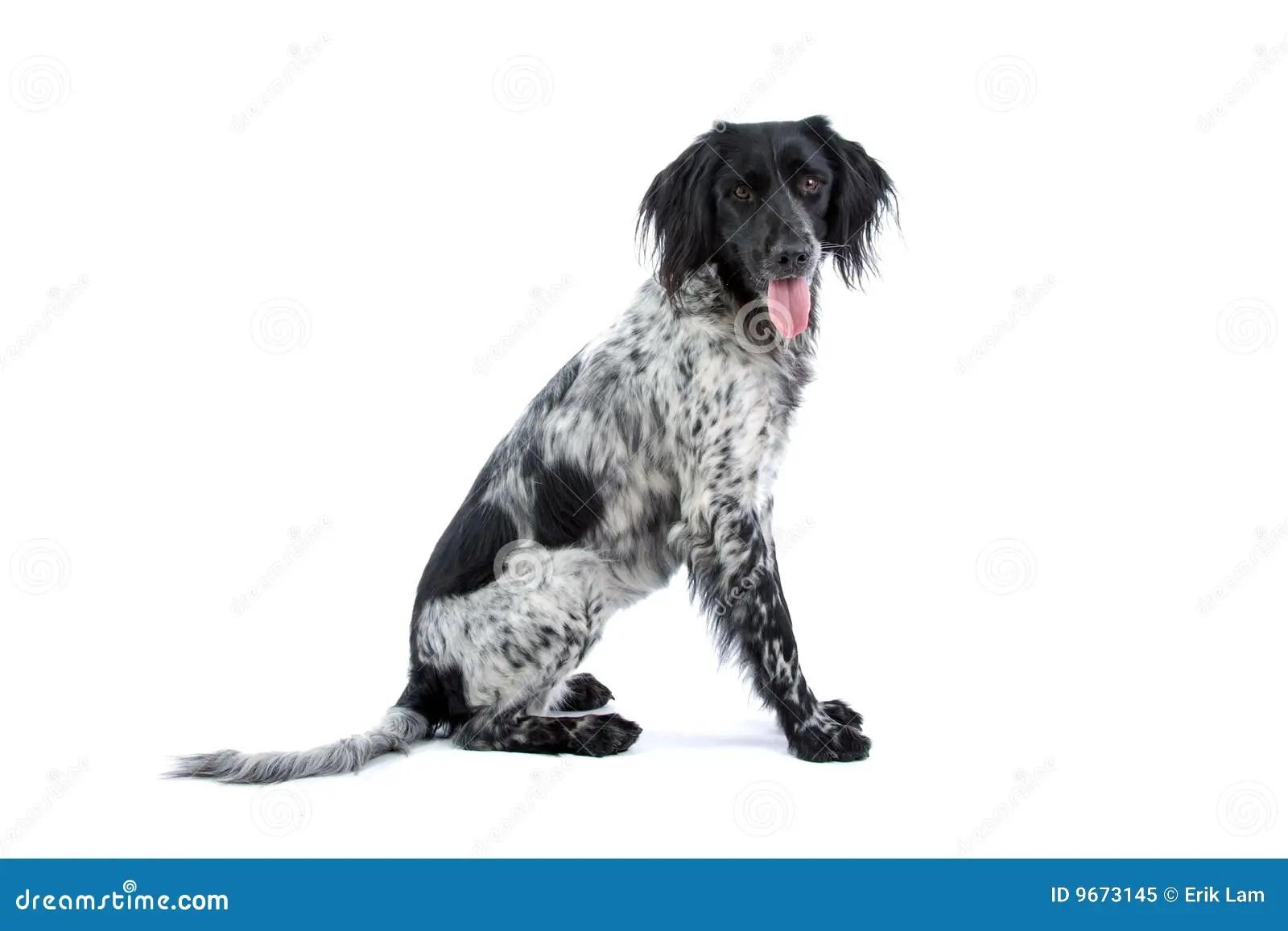 Munsterlander Hunting Dog Stock Image Image Of Hunter