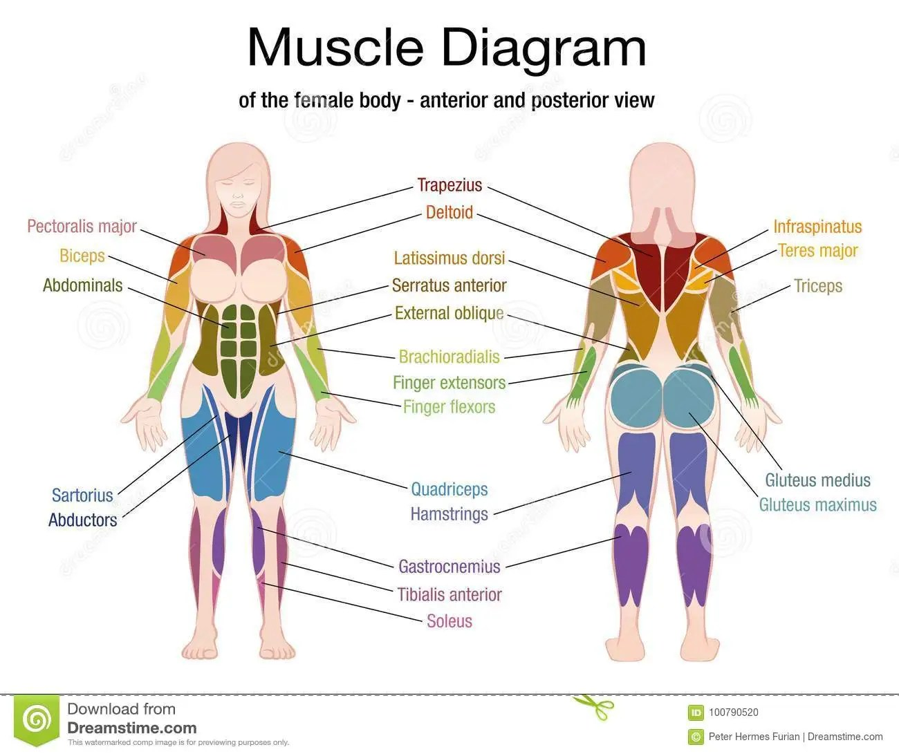 hight resolution of muscle diagram of the female body with accurate description of the most important muscles front and back view vector illustration on white background