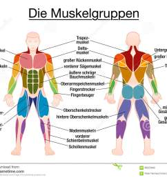 muscle chart german labeling most important muscles of the human body colored front and back view isolated vector illustration on white background  [ 1300 x 1094 Pixel ]
