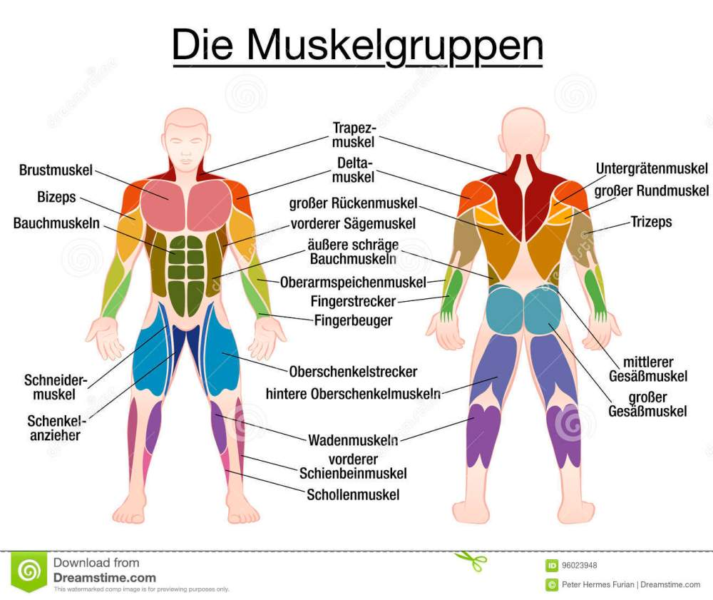 medium resolution of muscle chart german labeling most important muscles of the human body colored front and back view isolated vector illustration on white background
