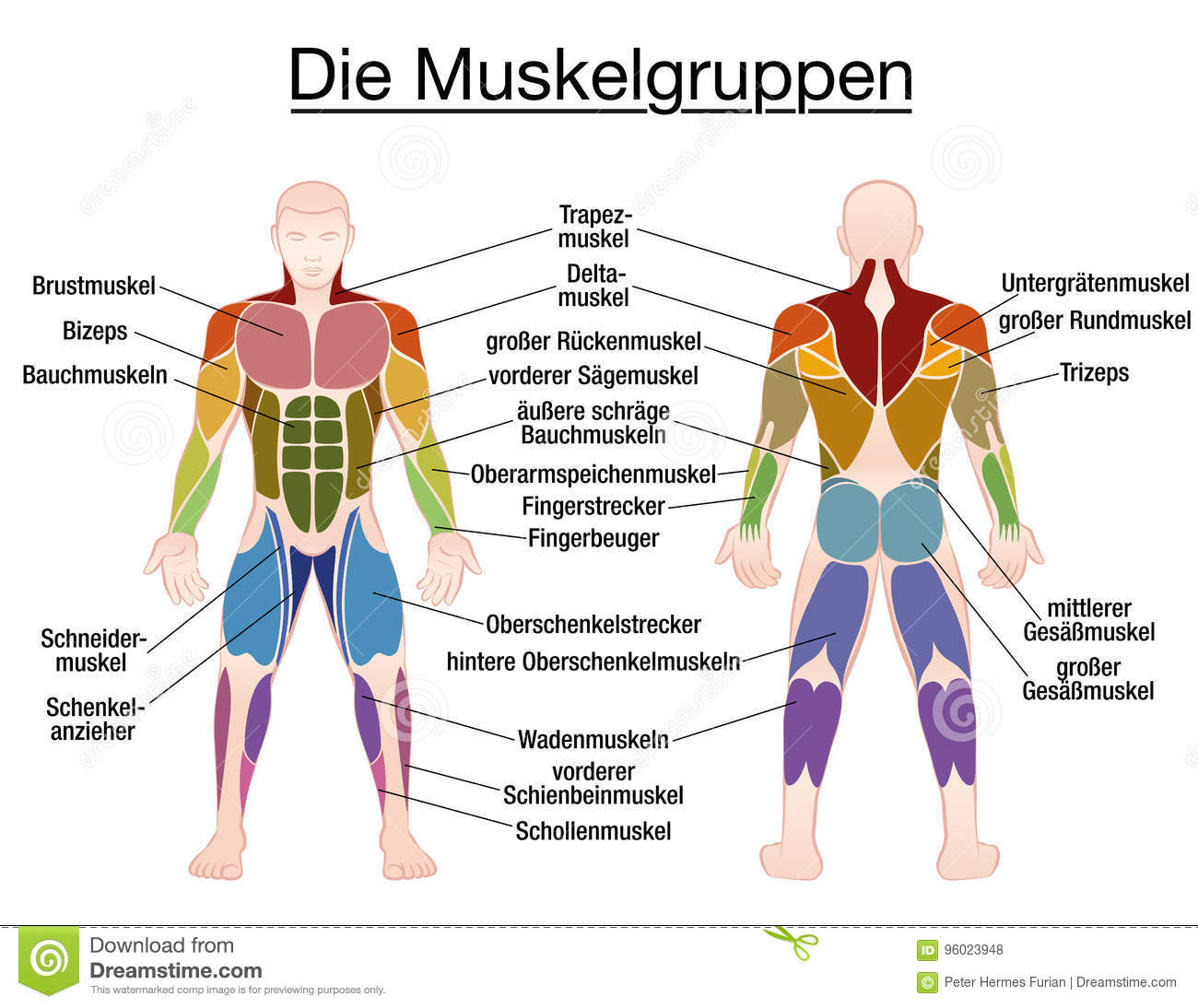 hight resolution of muscle chart german labeling most important muscles of the human body colored front and back view isolated vector illustration on white background