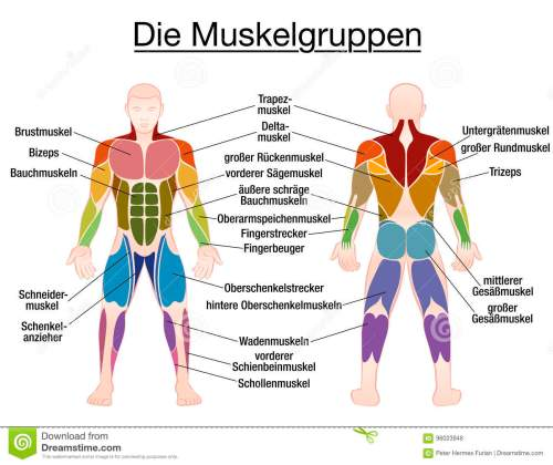 small resolution of muscle chart german labeling most important muscles of the human body colored front and back view isolated vector illustration on white background