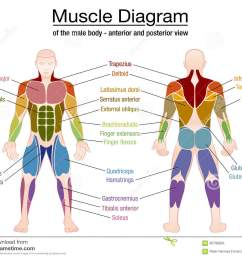 muscle diagram most important muscles of an athletic male body anterior and posterior view labeled vector illustration on white background  [ 1300 x 1094 Pixel ]