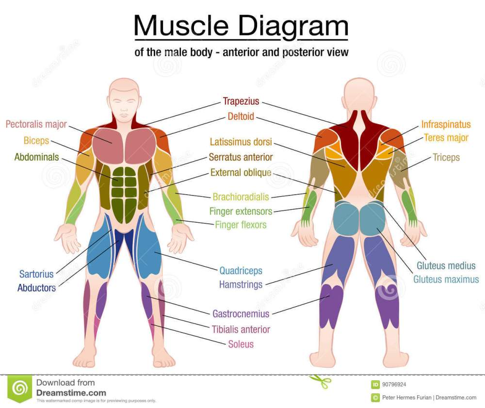 medium resolution of muscle diagram most important muscles of an athletic male body anterior and posterior view labeled vector illustration on white background