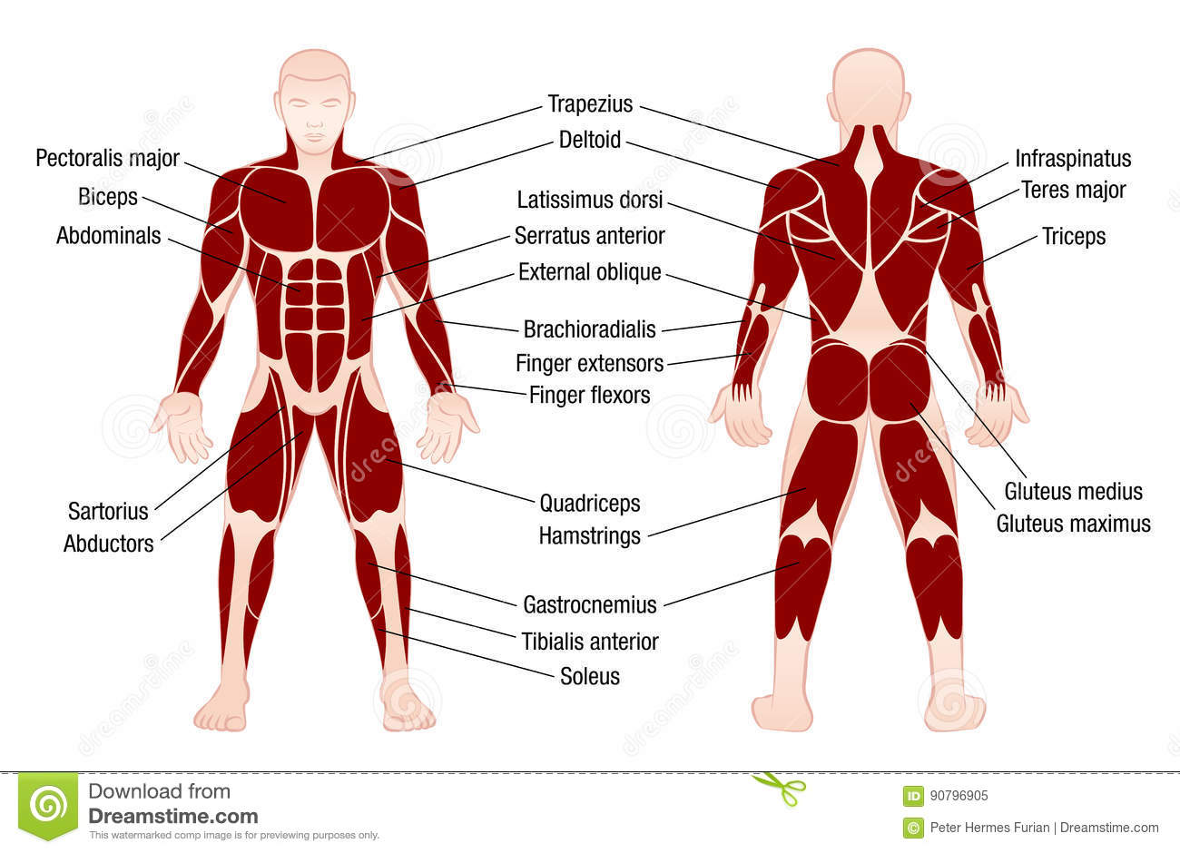 human muscles diagram labeled front and back circular flow chart template anterior cartoons illustrations vector stock images