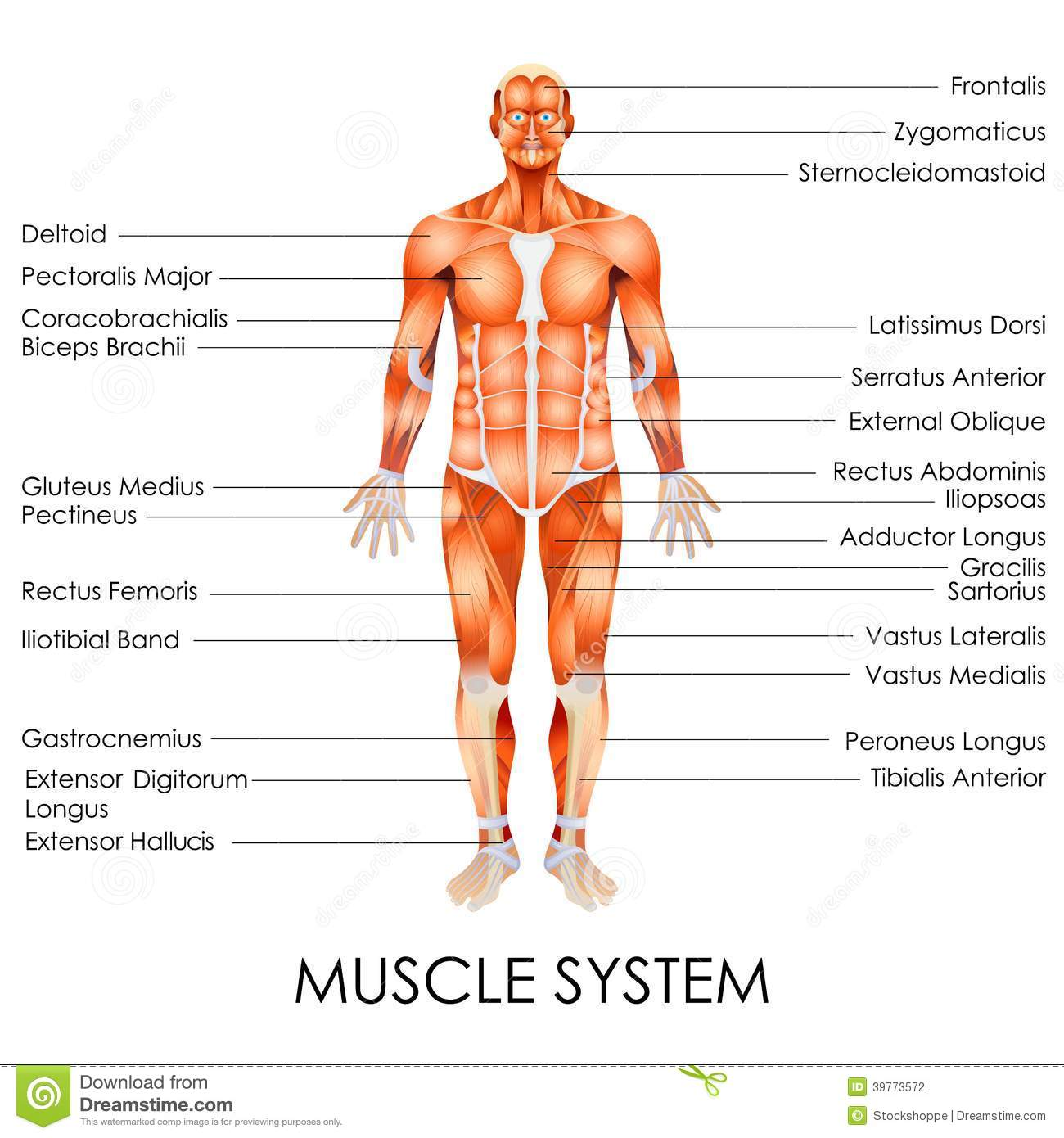 Muscular System Stock Vector Illustration Of Healthcare
