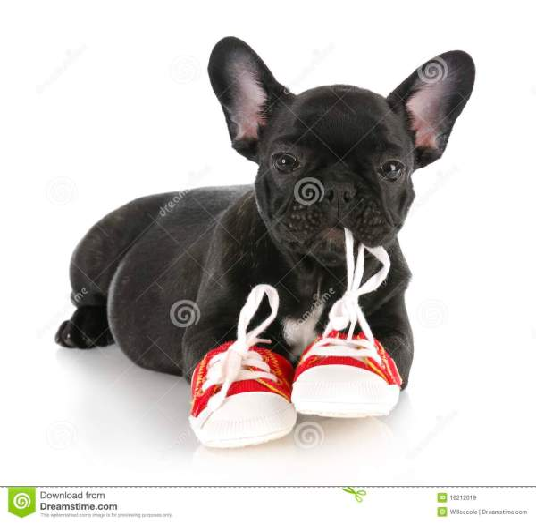 Naughty Puppy Royalty Free Stock - 16212019
