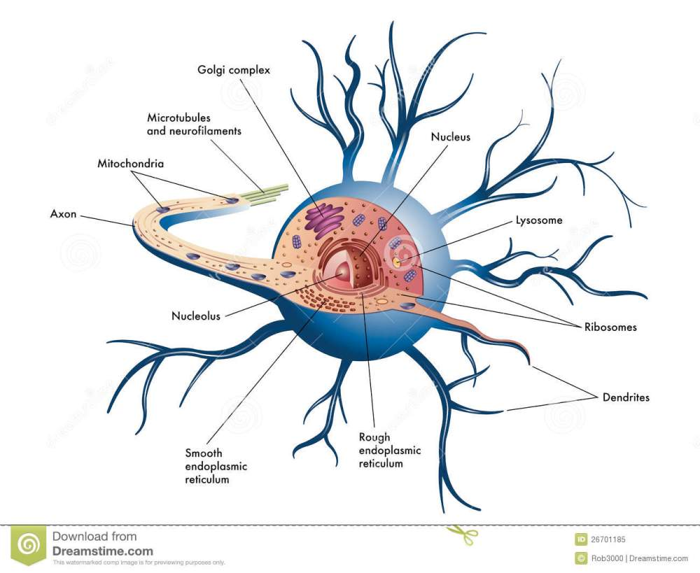 medium resolution of nerve cell