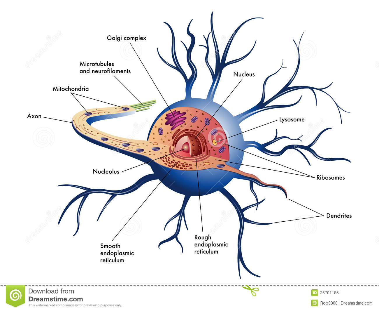 hight resolution of nerve cell