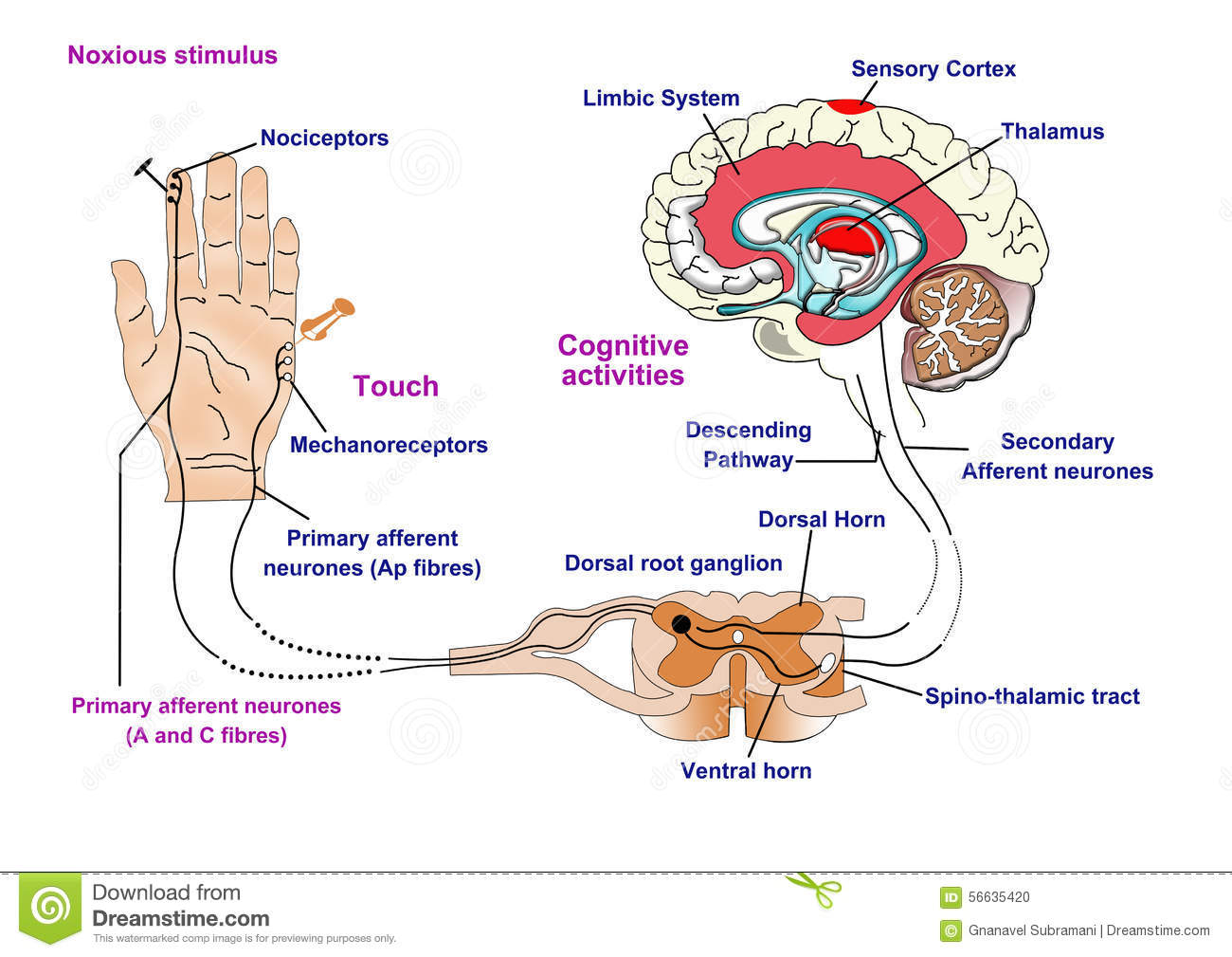 hight resolution of noxious and pain receptors in skin and the nerve pathway to the brain via the spinal cord and thalamus
