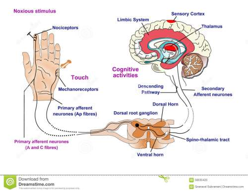 small resolution of noxious and pain receptors in skin and the nerve pathway to the brain via the spinal cord and thalamus